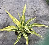 Furcraea foetida, False Agave, Furcraea gigantea, Mauritius hemp - 3 Gallon Live Plant - 4 pack