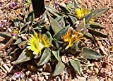HOT - Nananthus transvaalensis Hardy Living Stone Exotic Seeds