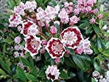 "Minuet Dwarf Mountain Laurel - Kalmia - Very Hardy - 2.5"" Pot"
