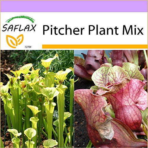 SAFLAX - Pitcher Plant Mix - 10 seeds - Sarracenia flava / S. purpurea - - A Card New Nectar Order