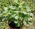 10 Seeds - PAPALO SEED (Porophyllum ruderale) Papaloquelite,Bolivian Coriander.Organic Herb