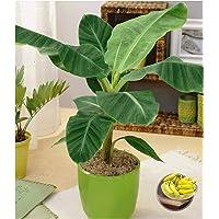 BALDUR-Garten Musa Banana Tropicana;1 Pflanze