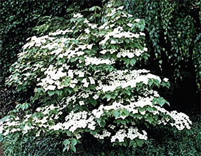 5 Flowering WHITE KOUSA DOGWOOD Cornus Kousa TREE Seeds
