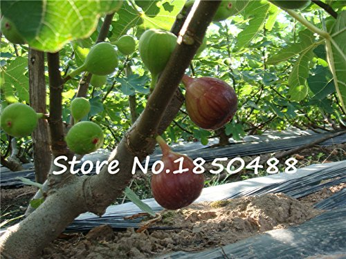 100 Sweet Honey FIG seeds - Fragrant - King Figs Courtyard Sementes De Flores Fig Tree bonsai plant rare fruit seeds SVI
