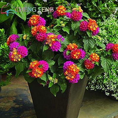 150 pcs Semillas Raras Holanda flor del arco iris del jardín de las semillas de flor rara Semillas Lantana coloridas: Amazon.es: Jardín
