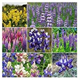 David's Garden Seeds Flower Lupine Loopy Mix SL1255 (Multi) 200 Non-GMO, Heirloom Seeds