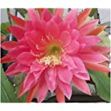 Epiphyllum XMas Bells - Orchid Cactus XMas Bells - 5 seeds