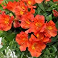 "Orange Alstroemeria Amina - Peruvian Lily - Princess Lily- 1 Lush Blooming Size Plant in 4"" Container"
