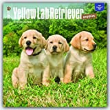Labrador Retriever Puppies, Yellow 2017 Square