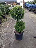 Eugenia sp. - Topiary - 3 Gallon Live Plant - 4 pack