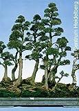 Tropica - Bonsai - pino australiano (Casuarina equisetifolia) - 200 semi
