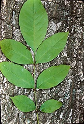 Fraxinus pennsylvanica ASH Tree Seeds!
