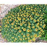 50 Rhodiola rosea Seeds, Golden Root, Rose Root, Roseroot, Rare Medicinal Plant