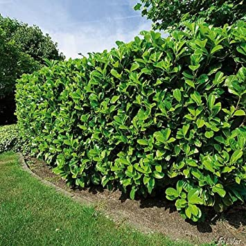 Kirschlorbeer Etna Hecken Pflanze 30 40 Cm Immergrün Winterhart