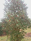 "20 Marnuki english holly seeds - Ilex aquifolium "" Marnuki """