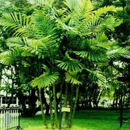 Semillas de palma bonsai lady 100 piezas multicolores semillas de flor novela de Plantas para jardín de DIY: Amazon.es: Jardín