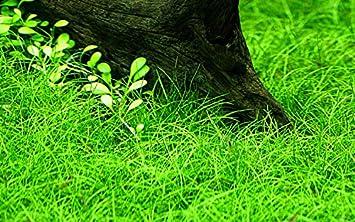 Tropica Aquariumpflanze Eleocharis Parvula Nr 132c Wasserpflanzen