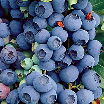 100 Highbush Blueberry Plant Bush Seeds Pre-Stratified Organic Fruit Seeds for Planting SS9-RR : Garden & Outdoor
