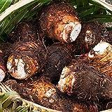Heirloom Alocasia Macrorrhiza Green Giant Taro Indoor Plants Elephant Ear Taro Bonsai Vegetable Rare Calla Plants 100 Pcs/Pack