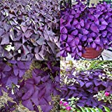 Portal Cool 10Pcs Pink Floribunda Wisteria: 10Pcs Perennial Shamrock- Oxalis Triangularis Bulbs Leaf Flower Seeds Plants Hot
