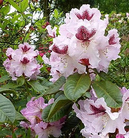Großblumige Rhododendron Herbstfreude 30-40cm Alpenrose