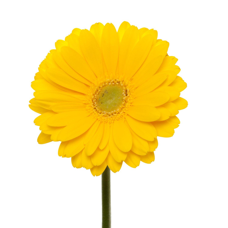 Gerbera Light Center | Yellow - 40 Stem Count by Flower Farm Shop