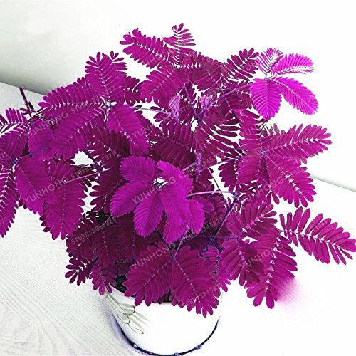 (Mimosa Pudica Linn Bashful Grass Seeds Foliage Mimosa Pudica Sensitive Bonsai Plant Home Garden 30 Pcs)
