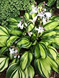 "'Rainbow's End' Hosta - 4"" Pot - Incredibly Variegated, Shiny Foliage"