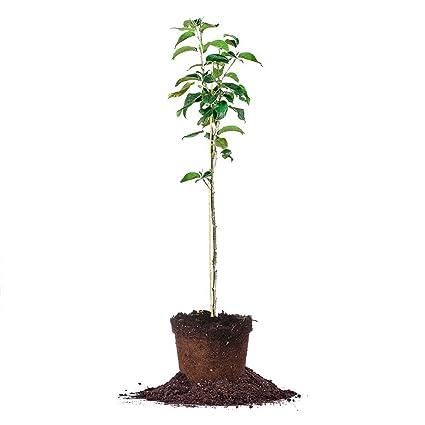 Asian pear fertilizer