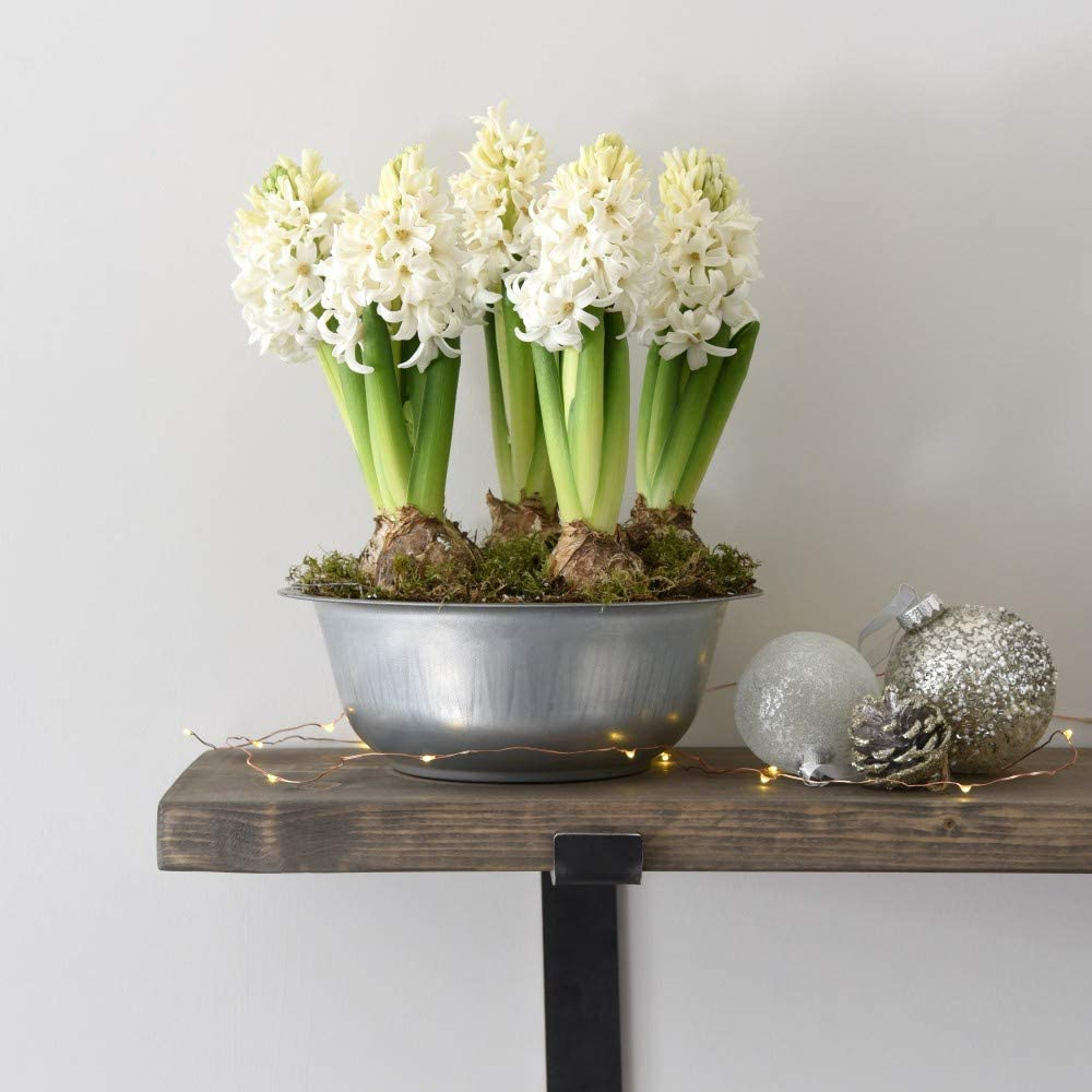 Hyacinths in Lit Zinc Bowl Gift Wrapped by Thompson and Morgan Planted in an Elegant Bowl 22cm Christmas Favourite