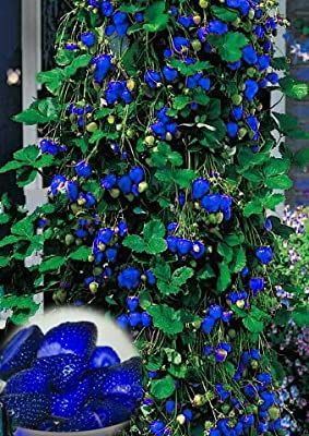 Jungjongjin Strawberry seeds 500pcs Blue Climbing Strawberry seeds tree Seed,very delicious Fruit Seeds For Home & Garden bonsai seeds,sent gift as10 kiwi