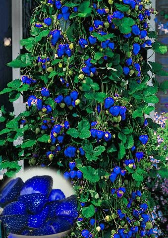 1000pcs Blue Climbing Strawberry seeds, sweet delicious Fruit Seeds For Home & Garden bonsai tree, potted plant, sent rose gift SVI