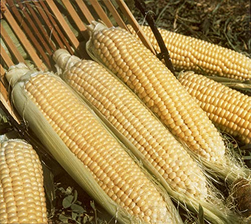Sweet Corn Kandy Korn Hybrid Pkt - Approx. 250 Seeds ()