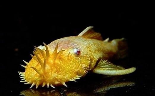 Amazon Com Polar Bear S Pet Shop Hot Albino Bristlenose Plecostomus 1 25 Inch Live Fish Fully Guaranteed Pet Supplies