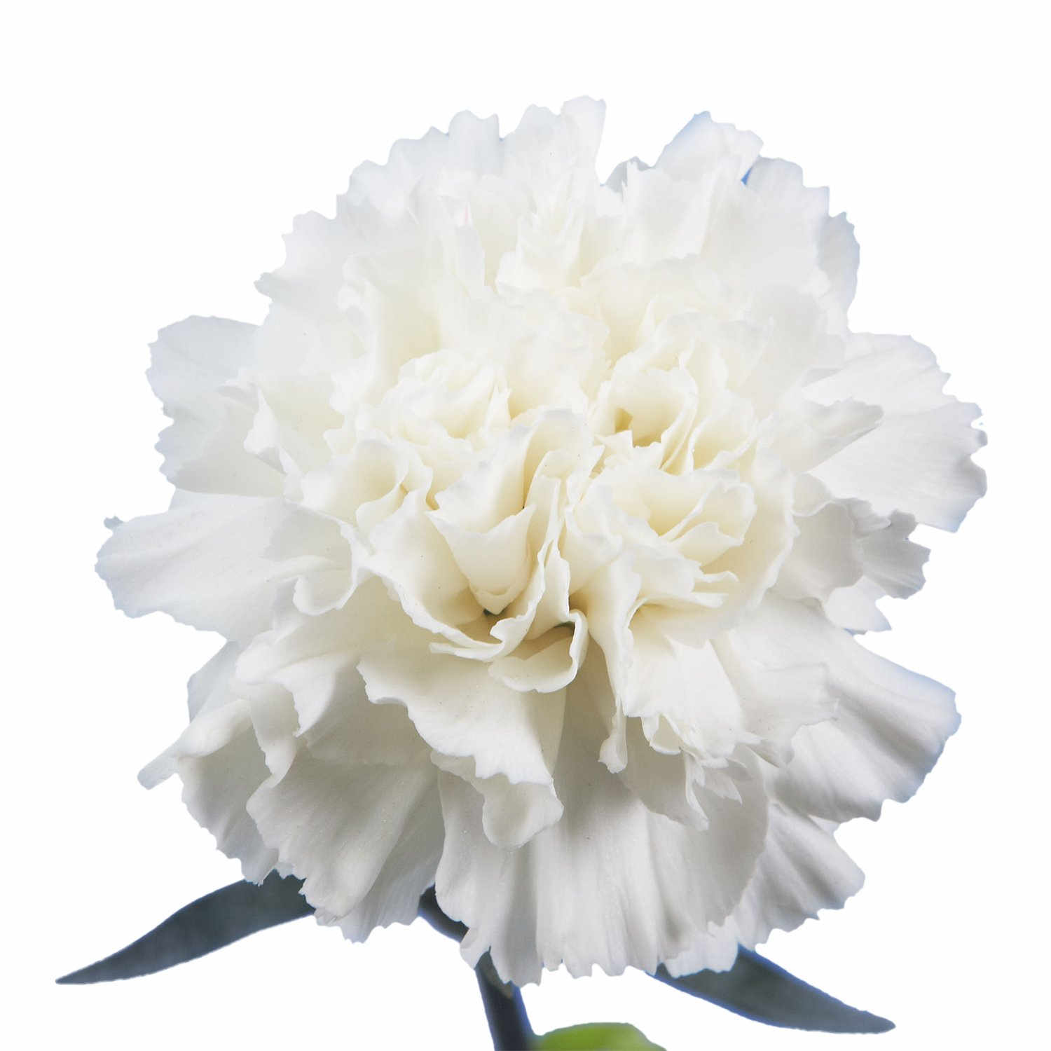 Amazon Globalrose 200 Fresh Cut White Carnations Fresh