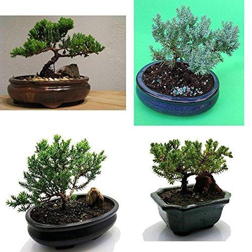 Bonsai Juniper Fertilized Tree Live Plant Best Gyft Pot Houseplant Indoor Yard