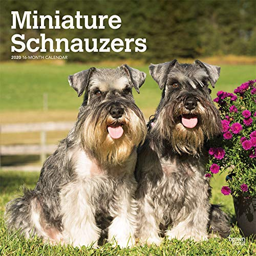 Miniature Schnauzers International Edition 2020 12 x 12 Inch Monthly Square Wall Calendar, Animals Small Dog Breeds