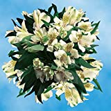 GlobalRose 240 Blooms of Cream Fancy Alstroemerias 60 Stems - Peruvian Lily Fresh Flowers for Delivery