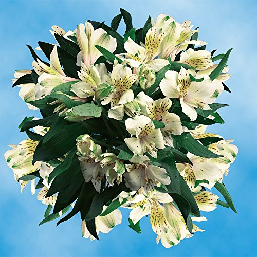 GlobalRose 240 Blooms of Cream Fancy Alstroemerias 60 Stems - Peruvian Lily Fresh Flowers for Delivery by GlobalRose