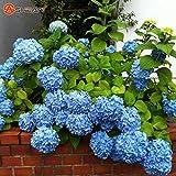 2016 semi 100 Blu ortensia fiore, bello colore, matrimonio fiore pianta Party Mix di colori