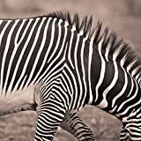 zebra print wall pics - David DuChemin/Design Pics Stretched Canvas Art - Close-Up Of A Zebra; Kenya -