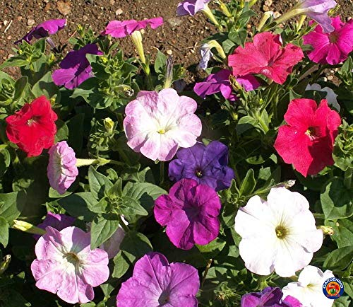 1000 Seeds of Petunia Nana compacta, Dwarf Mix Petunia