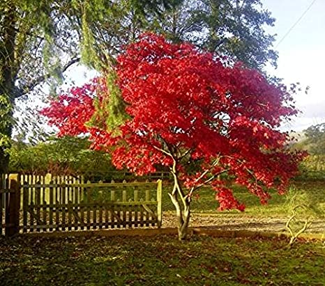 Amazon Com Fireglow Upright Red Japanese Maple Tree Live Plant