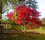 Fireglow Upright Red Japanese Maple Tree - Live Plant - Trade Gallon Pot