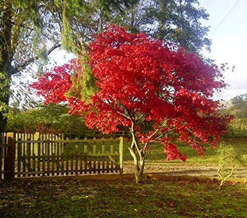 - Fireglow Upright Red Japanese Maple Tree - Live Plant - Trade Gallon Pot