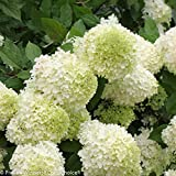 Limelight Hydrangea - Beautiful Colors - Proven Winners - Live Plant -Gallon Pot