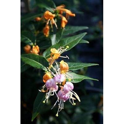 AchmadAnam - Live Plant - LONICERA 'Candy Swirl'. E4 : Garden & Outdoor