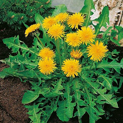 Kings Seeds - Dandelion - Pissenlit A Coeur plein (Taraxacum officinale) - 350 Seeds for cheap