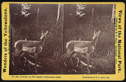 Dott Island - HistoricalFindings Photo: Photo of Stereograph,Yellowstone National Park,Antelope,DOTT Island,Lake,c1897