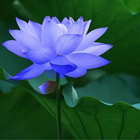 Amazon ocaler10pcsbag lotus flower lotus seeds aquatic plants ocaler10pcsbag lotus flower lotus seeds aquatic plants bowl lotus water lily seeds perennial plant mightylinksfo Image collections